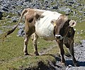 Arosa - cow 2.jpg