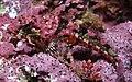 Artedius corallinus.jpg