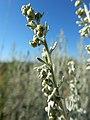Artemisia absinthium (28532274222).jpg