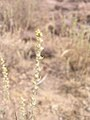 Artemisia arbuscula inflorescence-8-16-04.jpg