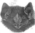 Artibeus planirostris.png
