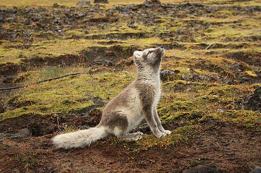 Artic fox Iceland