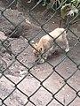 Artis Zoo - Wolf (7517073098).jpg
