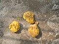 Artocarpus lakoocha fruit Laos.jpg