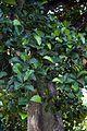 Artocarpus nobilis.jpg