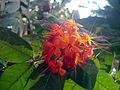 Ashokam flower.JPG
