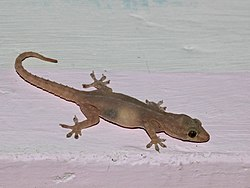 Asian House Gecko from bangalore.jpg