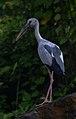 Asian Openbill Stork Anastomus oscitans by Vedant Kasambe 02.jpg