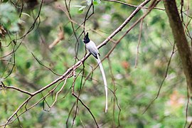 Asian Paradise Flycatcher at Nagarjun Forest (3).jpg