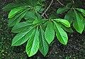 Asimina triloba (pawpaw tree) 2 (27705591799).jpg