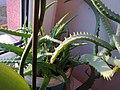 Asparagales - Aloe arborescens - 1.jpg