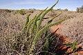 Asparagus juniperoides 15478113.jpg