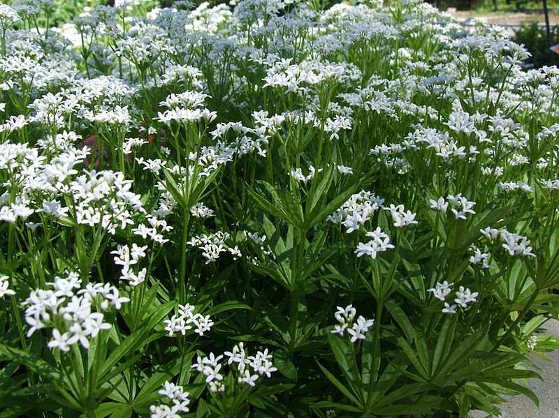 Sweet Woodruff, also Kn