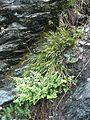 Asplenium cuneifolium A. septentrionale 270814.jpg