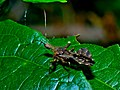 Assassin Bug (Reduviidae) (7080231679).jpg