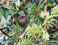 Asthenes palpebralis - Eye-ringed Thistletail.jpg