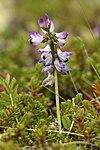 Astragalus alpinus LC0319.jpg