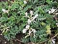 Astragalus cibarius.jpg