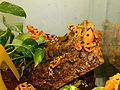 Atelopus Zeteki Breeding Vivarium.JPG