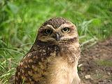 Athene-cunicularia-burrowing-owl-0a.jpg