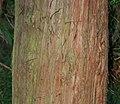Athrotaxis laxifolia (Summit Cedar) - bark (31294382685).jpg