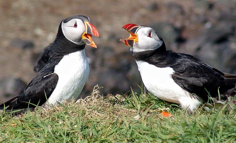 Puffins at Lunga, Treshnish Isles, Scotland.