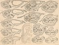 Atlas d'embryologie (1889) (20155696168).jpg