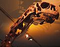 August 1, 2012 - Close-up of Malawisaurus Skull on Display at the Royal Ontario Museum.jpg