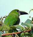 Aulacorhynchus prassinus (Tucancito esmeralda) (15657582504).jpg