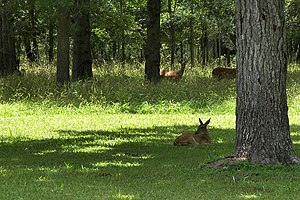 Stephen F. Austin State Park - White-tailed deer are plentiful in Stephen F. Austin State Park.
