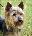 Australian Silky Terrier Karlyermai Trail Blaza.jpg