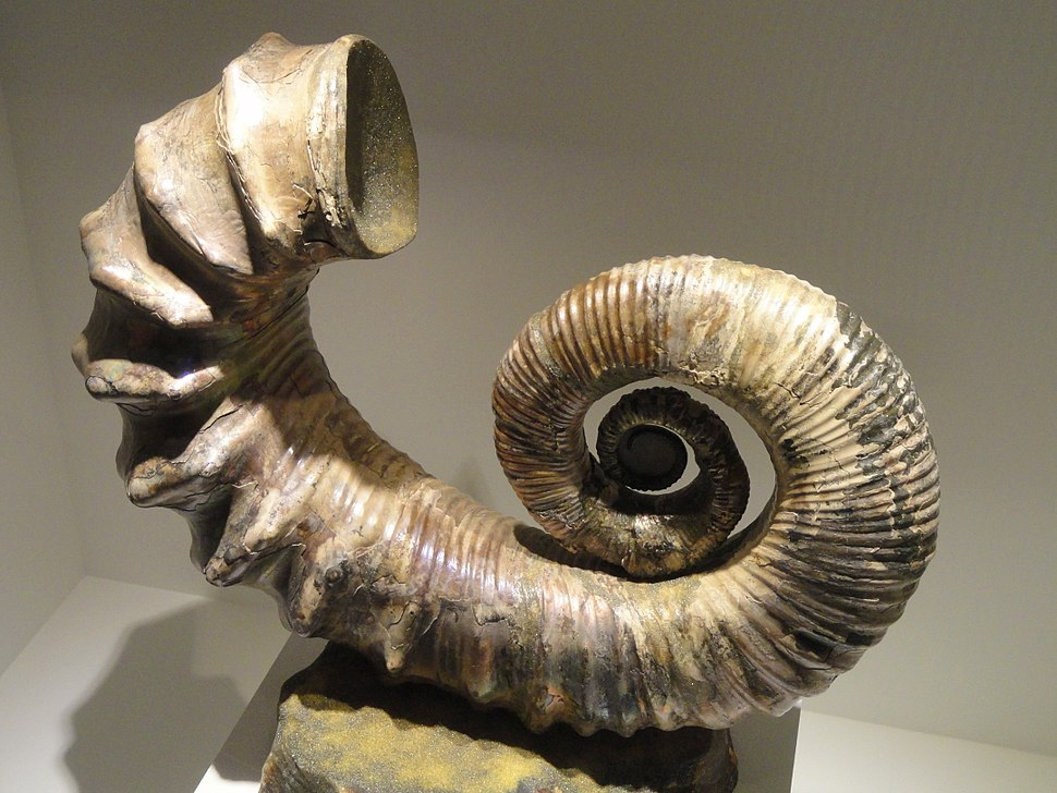 Australiceras sp., Late Jurassic to Early Cretaceous, Volga River, Russia - Houston Museum of Natural Science - DSC01900