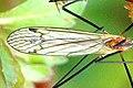 Austrolimnophila.ochracea.wing.detail.jpg