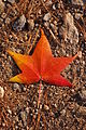 Autumn Unidentified Red Orange Leaf 2000px.jpg