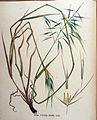 Avena strigosa — Flora Batava — Volume v16.jpg