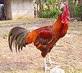 Ayam Pelung.jpg