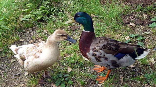 Pohlavná dvojtvarosť - vpravo káčer, vľavo kačka