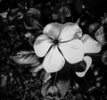 B&W flowers.png
