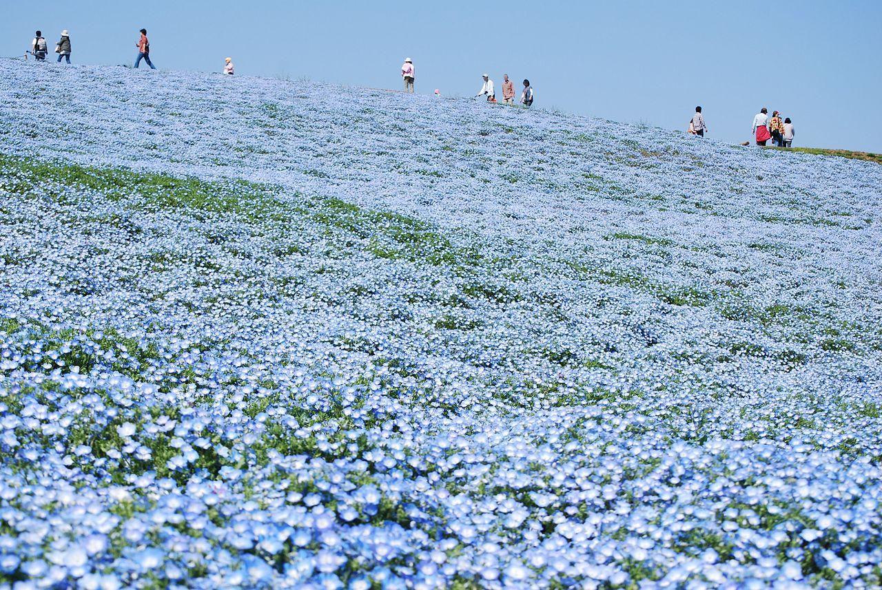 File Baby Blue Eyes Nemophila Hitachinaka City Japan Jpg