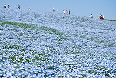 Baby blue-eyes,Nemophila,Hitachinaka-city,Japan.jpg