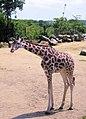 Baby giraffe (504790195).jpg