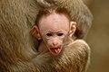 Baby macaque DSC 8383.jpg