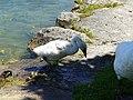 Baby swan @ Lake Annecy @ Port de Saint-Jorioz (50487112088).jpg