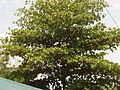 Badam tree.JPG