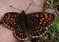 Baldrian-Scheckenfalter (Nymphalidae- Melitaea diamina) (7563847002).jpg
