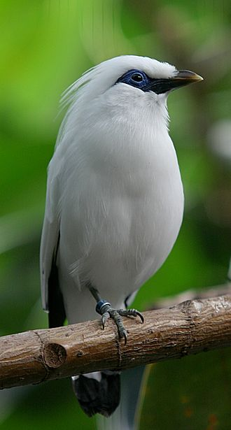 Bali myna - At Milwaukee County Zoological Gardens, United States