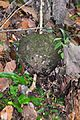 Ball of jungle fungus (27191212726).jpg