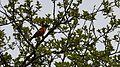 Baltimore Oriole (Icterus galbula), Male - Oakville, Ontario 02.jpg