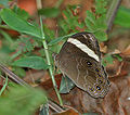 Banded Treebrown, Lethe confusa at Samsing, Duars, West Bengal W IMG 6058.jpg