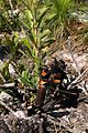 Banksia aemula - New life after fire (15214126973).jpg